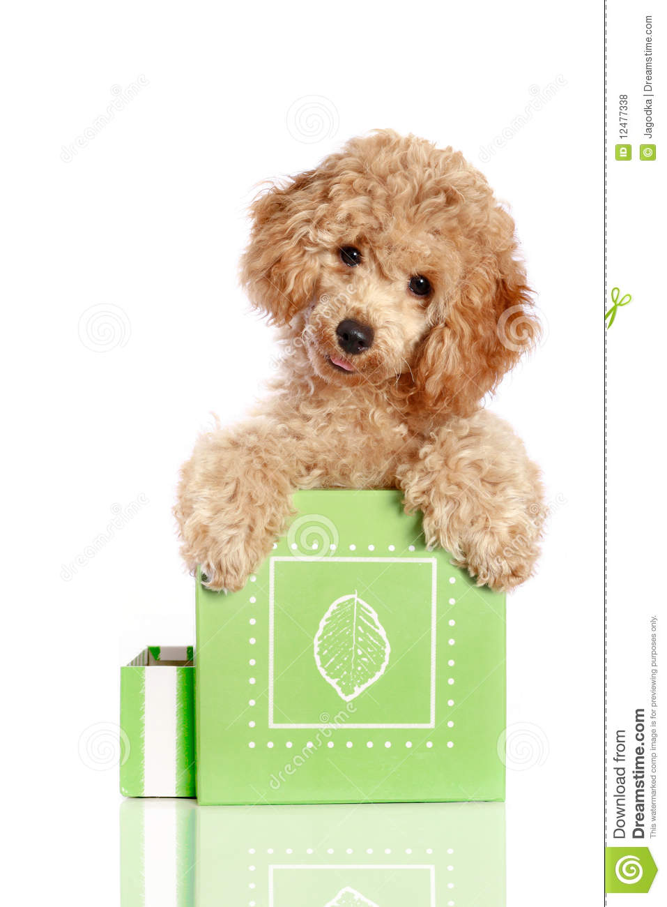 Small apricot poodle puppy is in a gift box