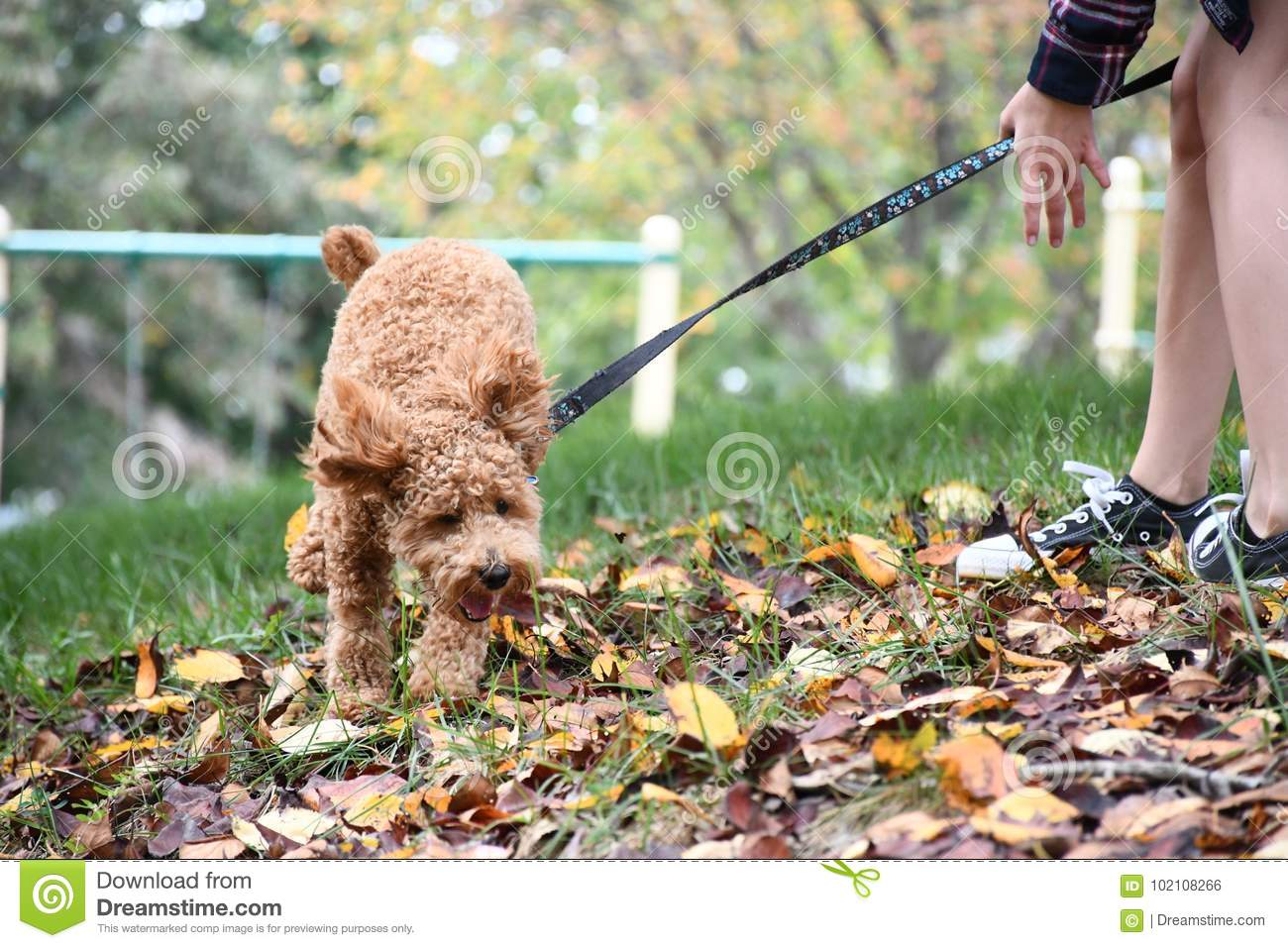 Girl Walking Energetic Poodle Puppy in Autumn