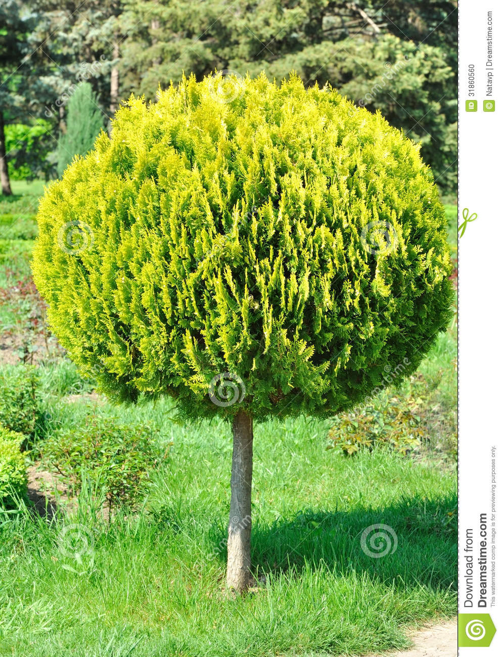Small arborvitae shorn round tree in the yard stock for Garden trees small
