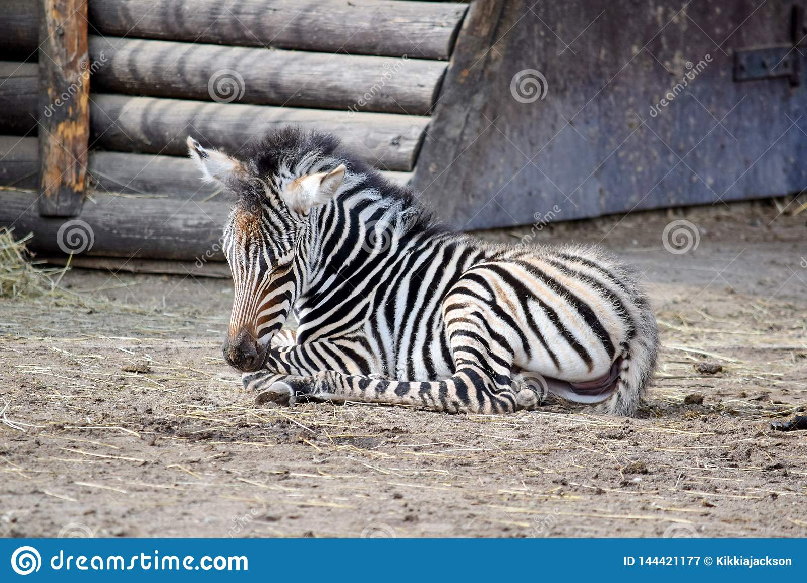 Small Baby Chapman`s Zebra Lying on Ground