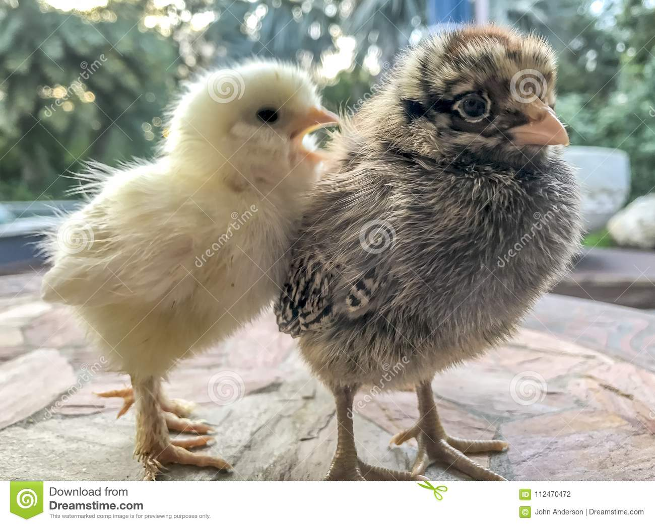 Baby chicks pictures only 178 best Cute Chicks Pretty Hens images on Pinterest Hens