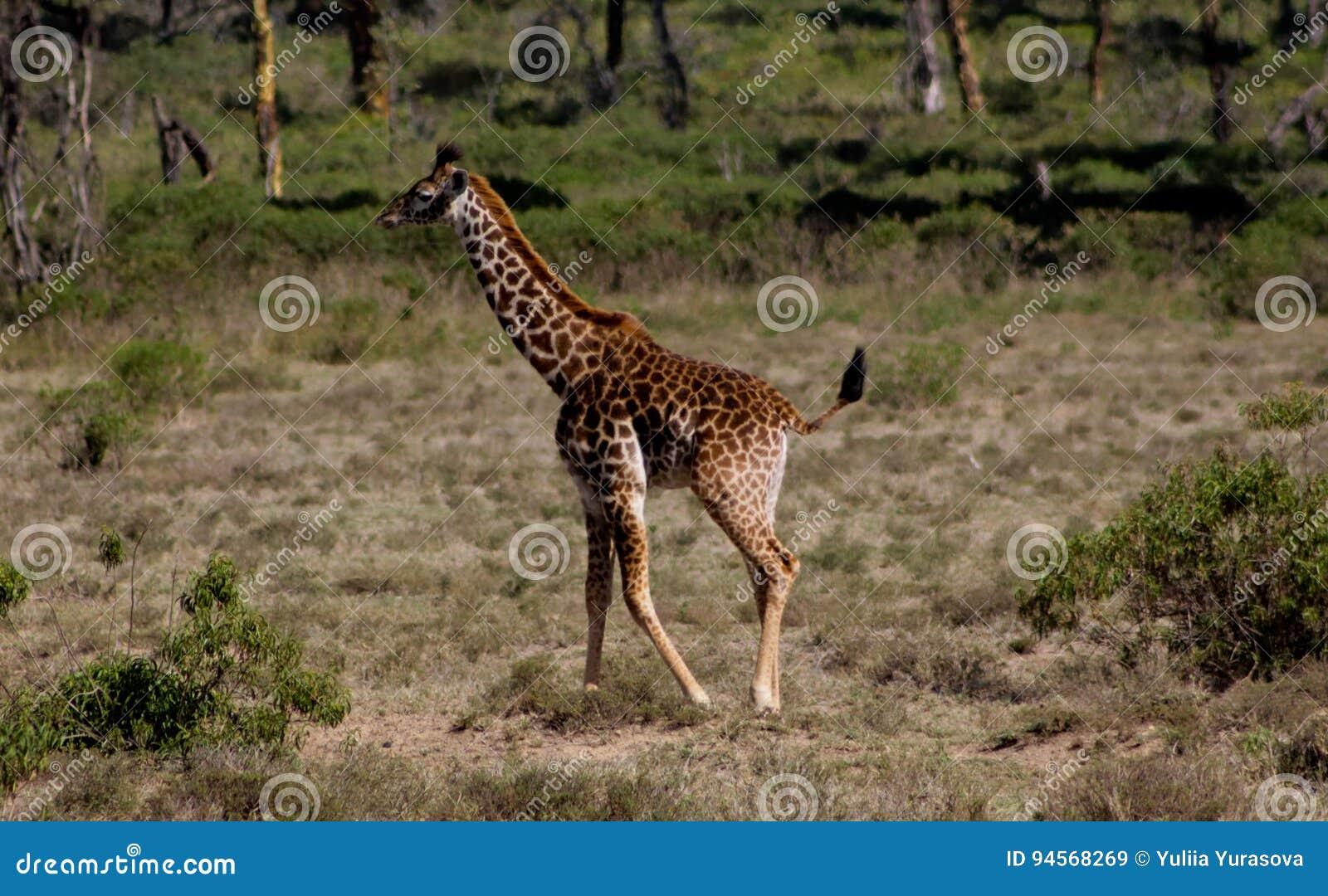 Small baby giraffe