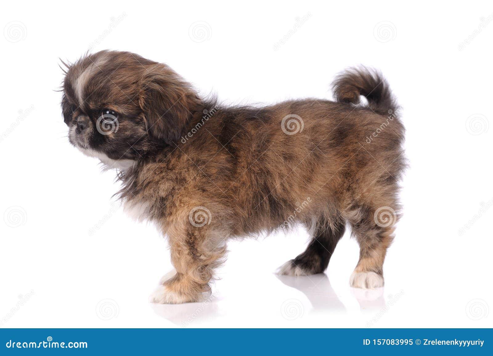 Small Baby Pekingese Dog Isolated Over The White Background Stock Image Image Of Pretty Breed 157083995
