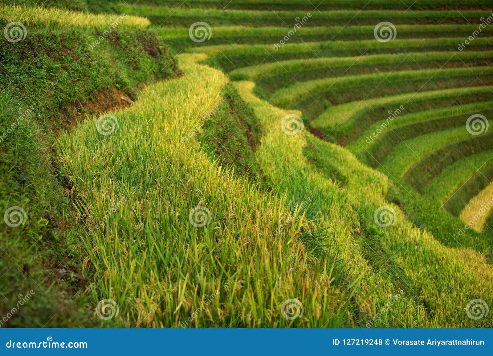Rice fields on terraced of Mu Cang Chai, YenBai, Vietnam. Rice f