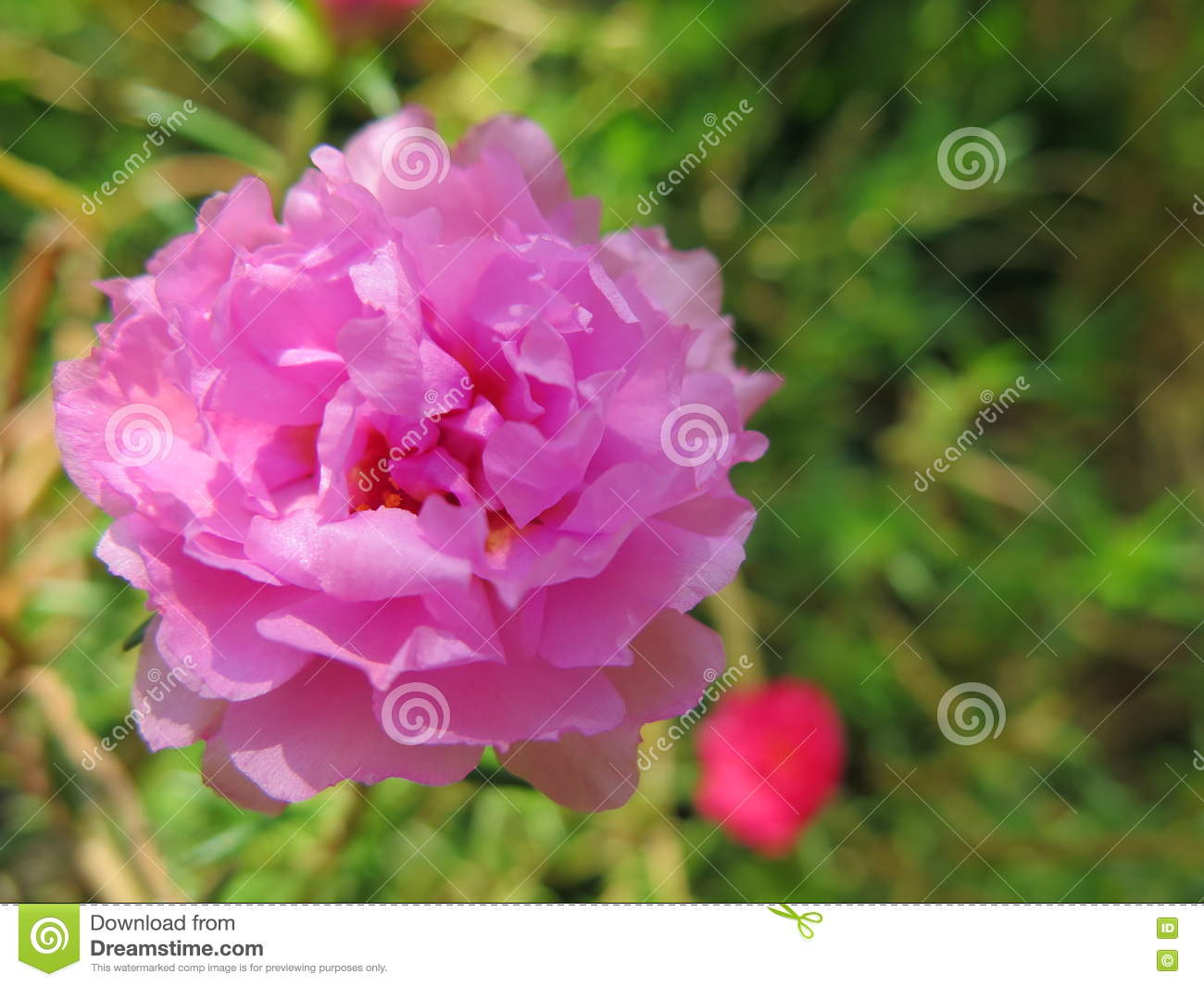 Small Beautiful Pink Tropical Flower That Looks Like Rose Stock