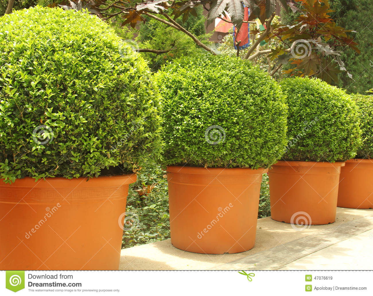 Small Beautiful Trees In Pots Stock Image Image 47076619