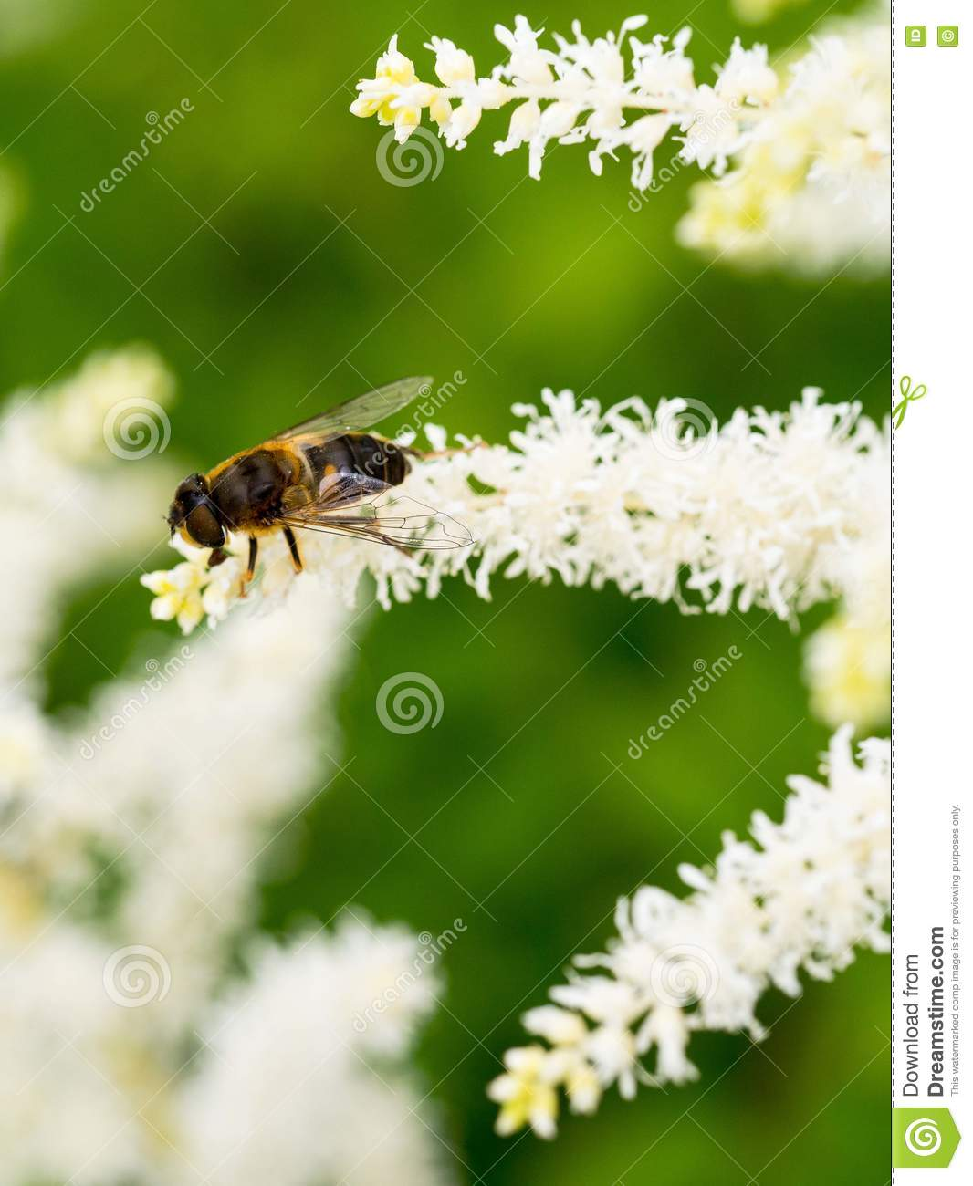 Small bee sits on the white sweet smelling flowers collecting download small bee sits on the white sweet smelling flowers collecting pollen stock image mightylinksfo