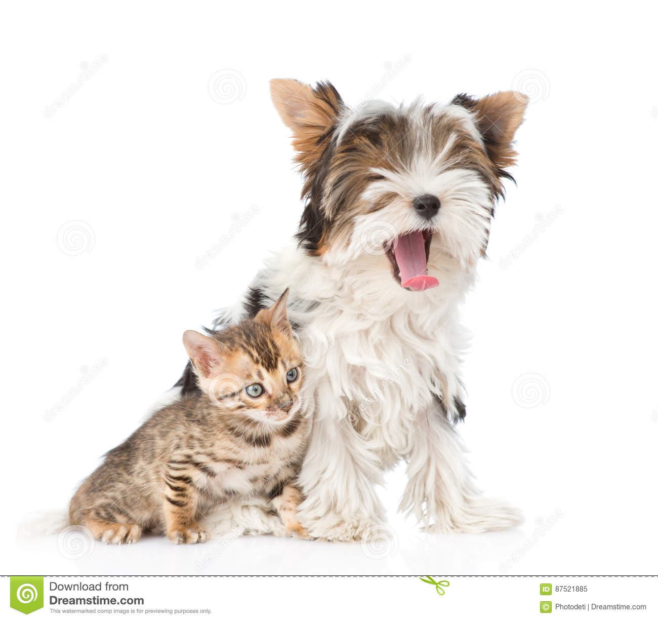 Small Bengal Cat And Yawning Biewer-Yorkshire Terrier ...