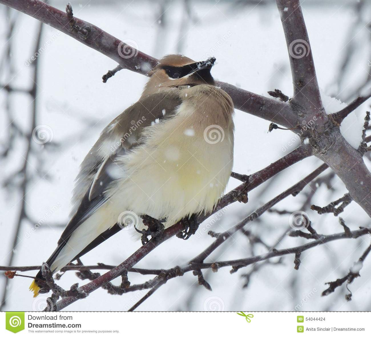 A small bird, a Bohemian Waxwing, perches among the branches of a barren tree on a snowy day