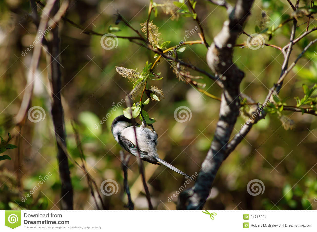 Black-Capped Chickadee Small bird in tree