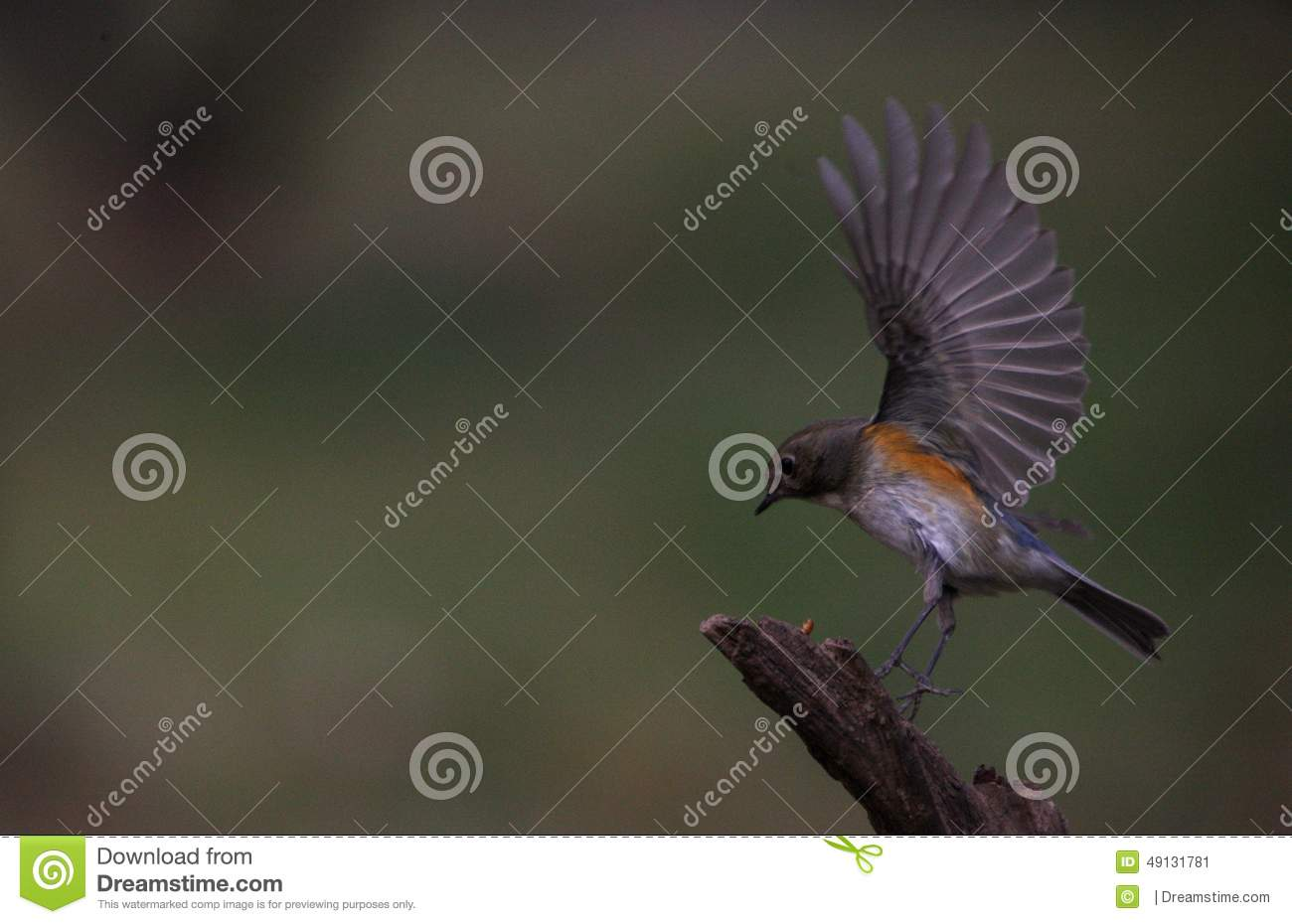Small Bird With Wings Flapping Stock Photo Image 49131781