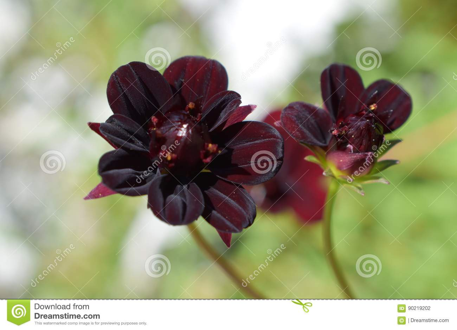 Small black dahlia flower stock photo image of bloom 90219202 download comp izmirmasajfo
