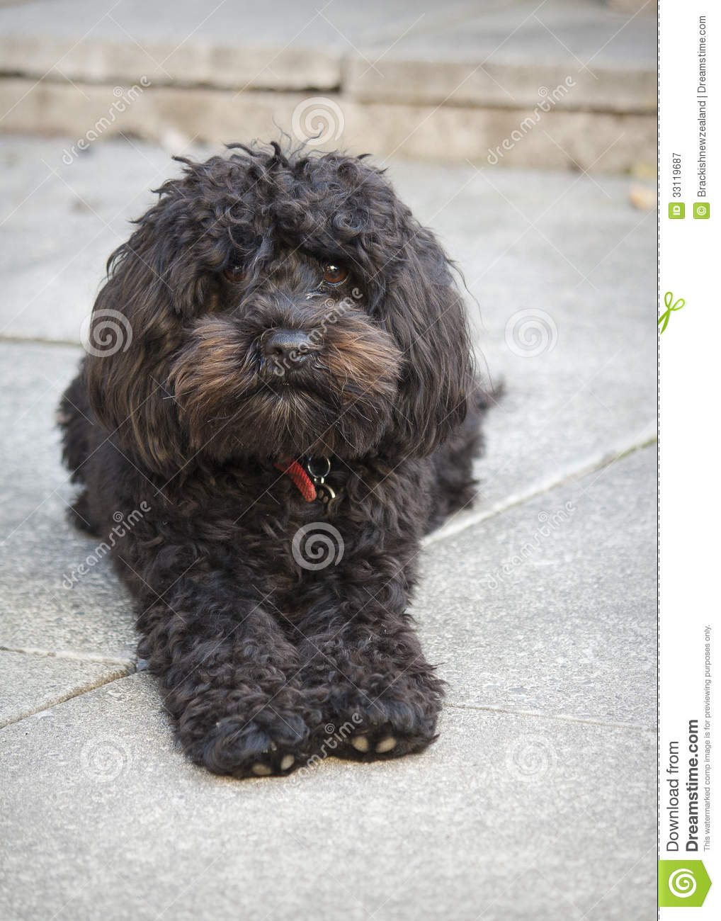 Small Black Dog Royalty Free Stock Photography Image