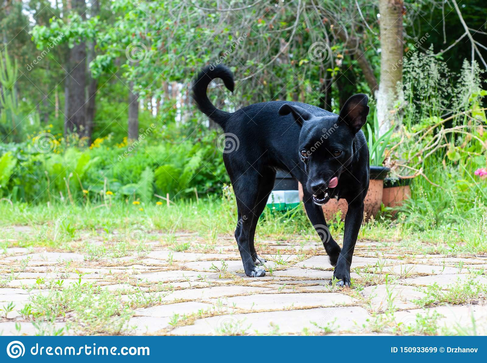 small black dog, looking like a pincher breed, looking to the camera and malevolently licking itself