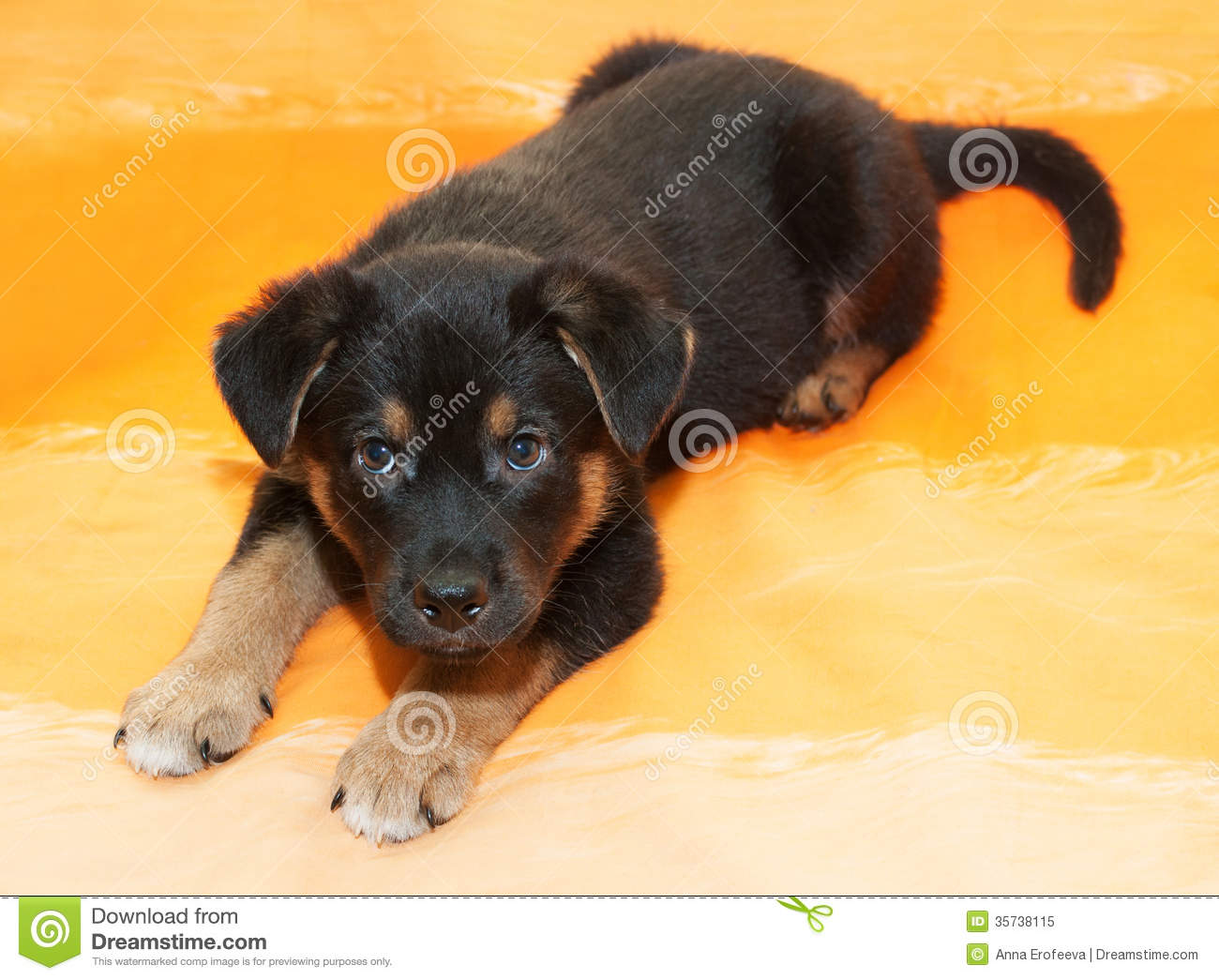 Small Black Puppy With Brown Markings Lies Stock Image ...