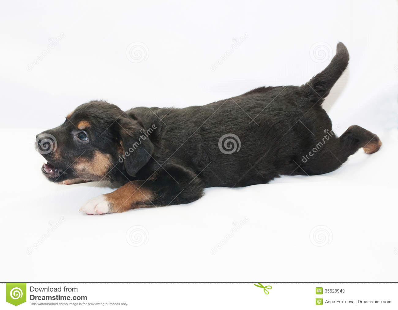 Small Black Puppy With Brown Spots Barks Royalty Free