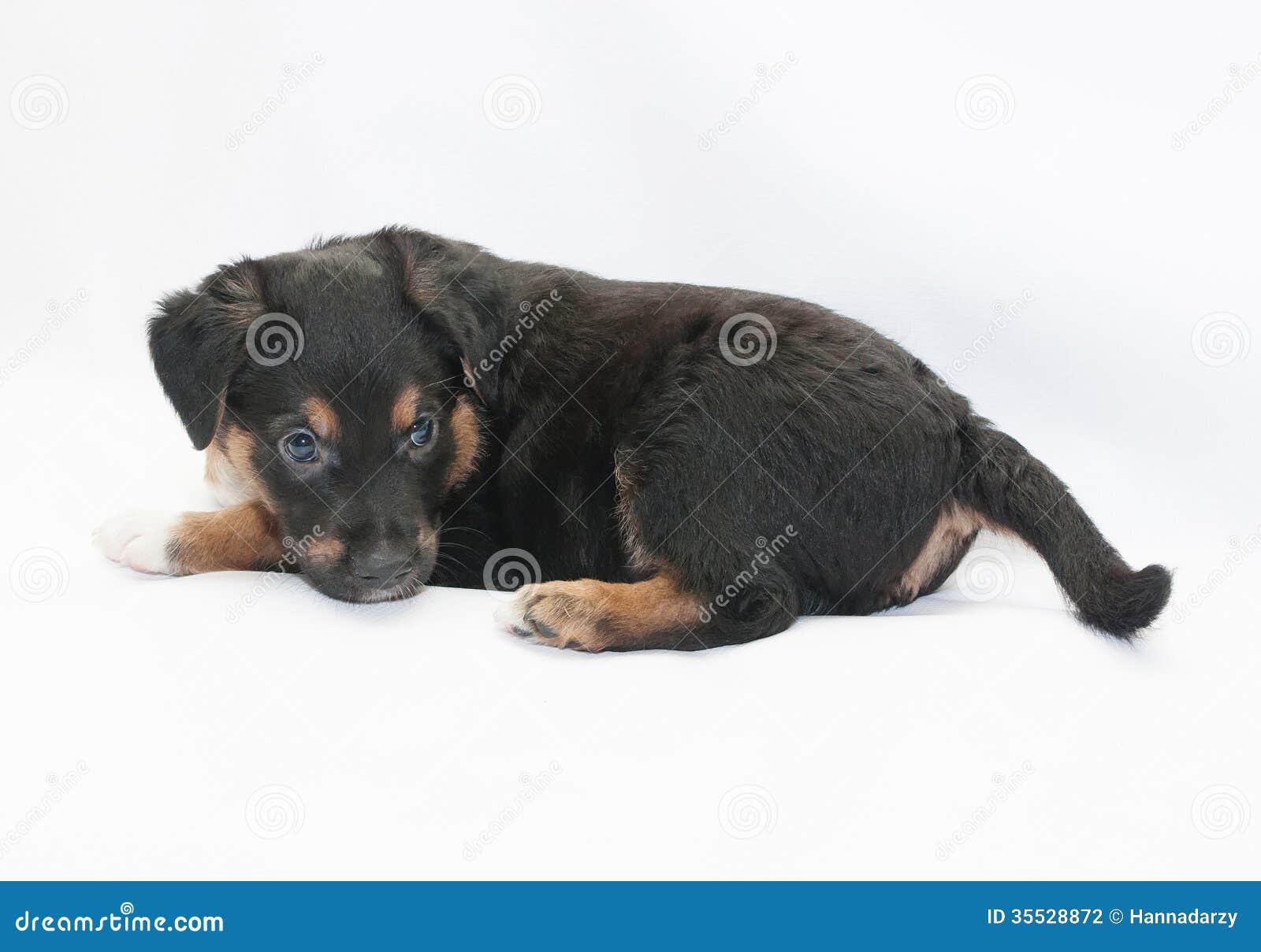 Dog Black Spots Ears