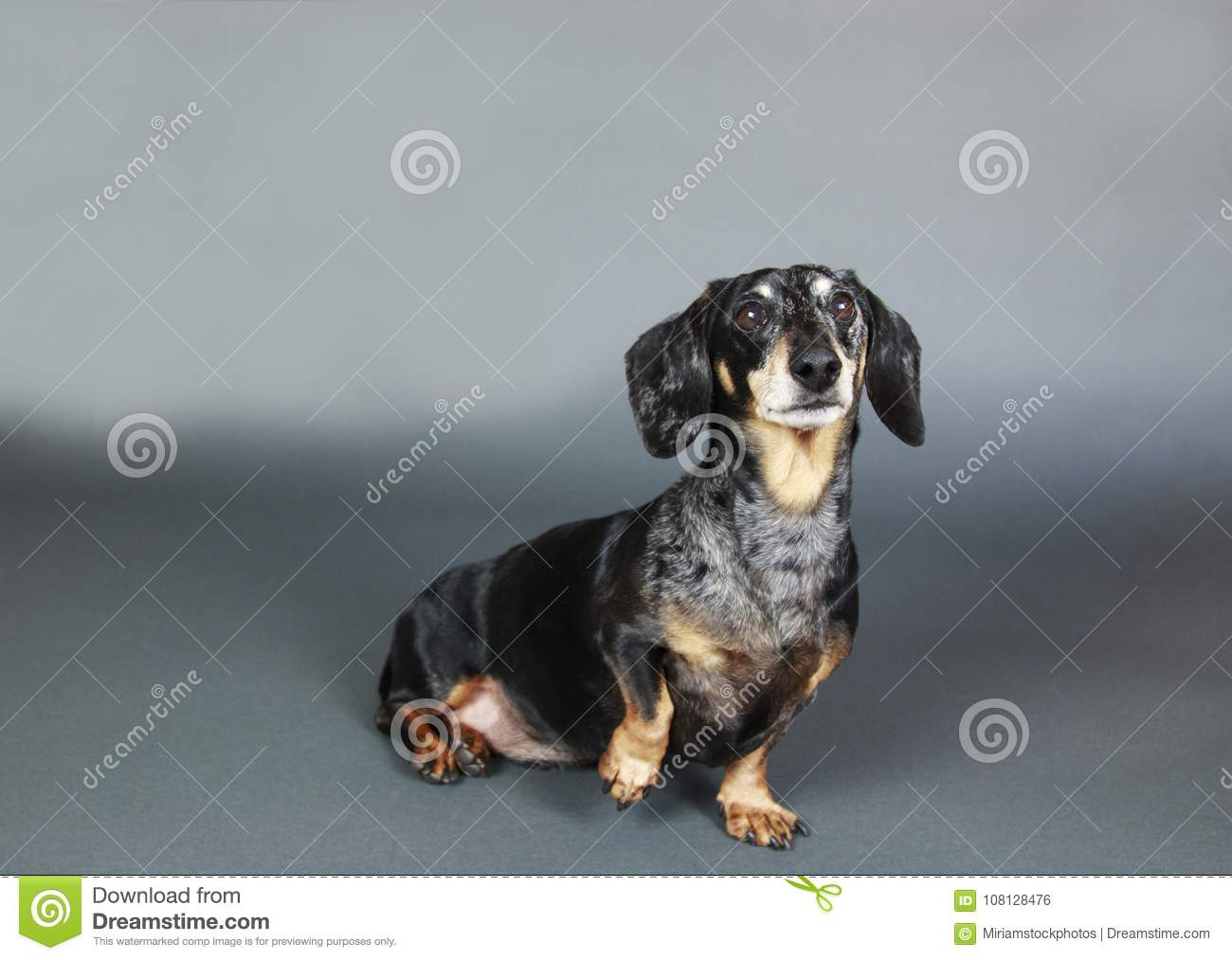 Small Black and Tan Dachshund lifting paw and sitting down on gr