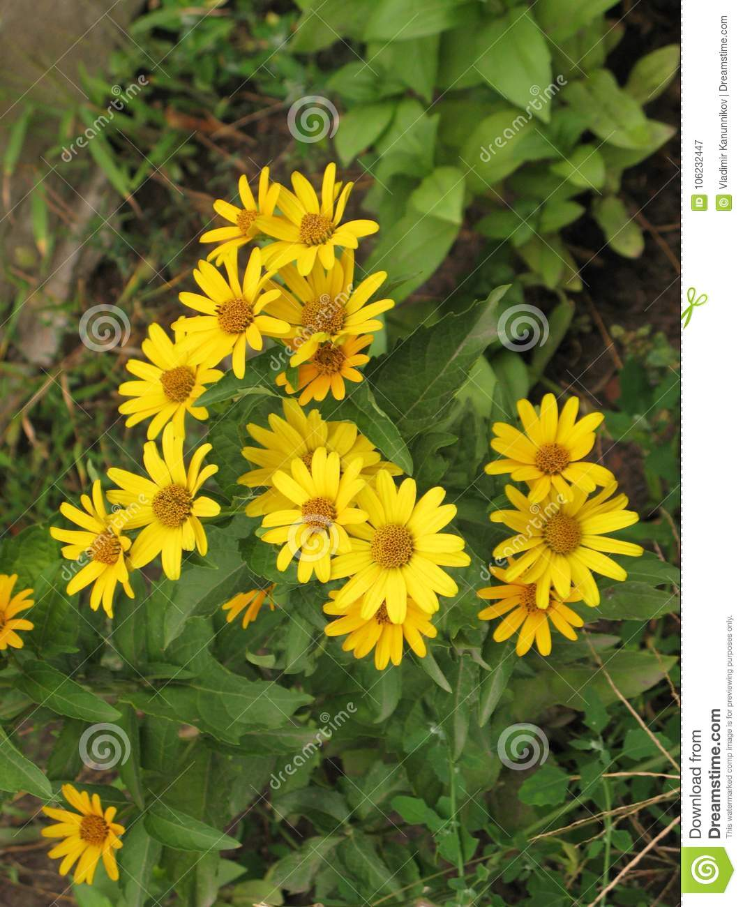 Summer Yellow Perennial Daisy Stock Image Image Of Flower Flowers