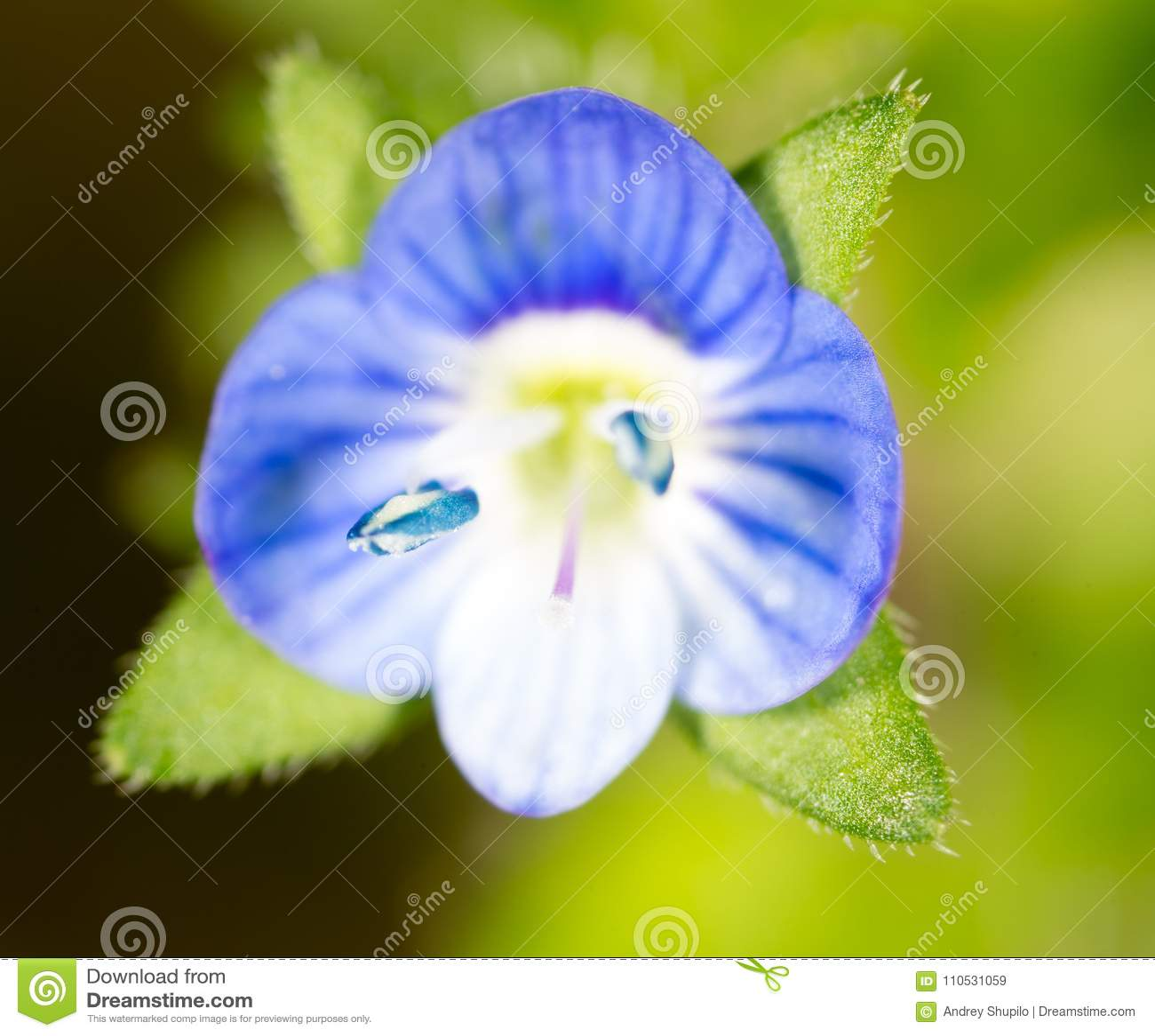 Small blue flower super macro stock image image of blossom download small blue flower super macro stock image image of blossom closeup izmirmasajfo