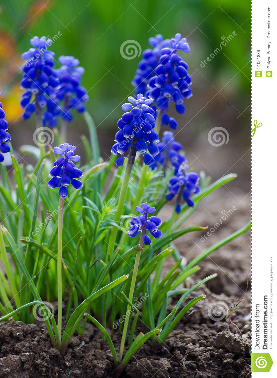 Small Blue Flowers Bloom In Spring Muskari Stock Photo Image Of