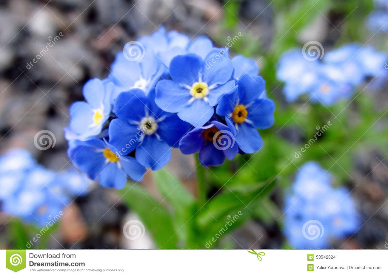 Small Blue Flowers Forget Me Not Stock Photo Image Of Bloom