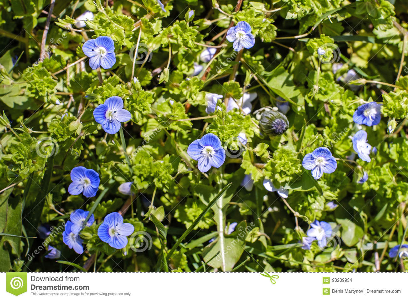 Small Blue Flowers And Grass Texture Stock Photo Image Of Macro Field 90209934