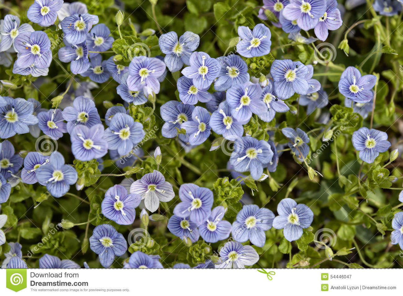 small blue flowers in green foliage stock image image 54446047