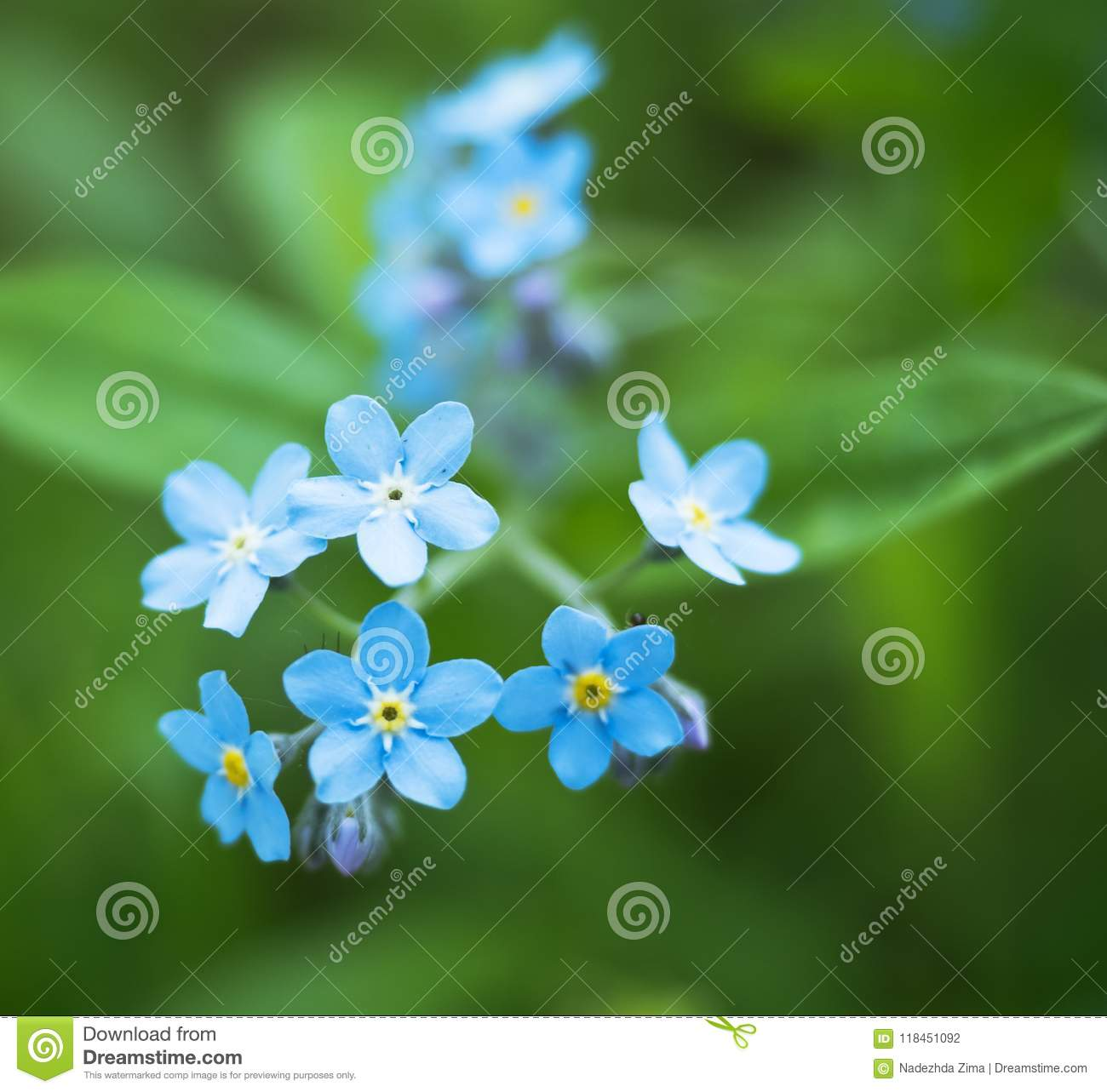 Small blue flowers large blue petals on a green background forget small blue flowers large blue petals on a green background forget me izmirmasajfo