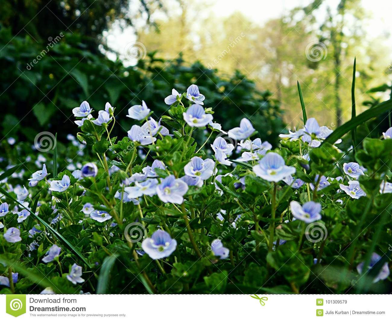 Small Blue Flowers In A Park Stock Image Image Of Flowers Small