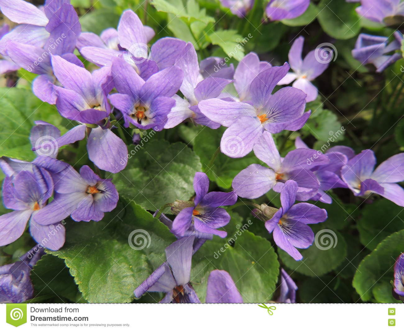 Small Blue Flowers In Spring Garden Stock Photo Image Of