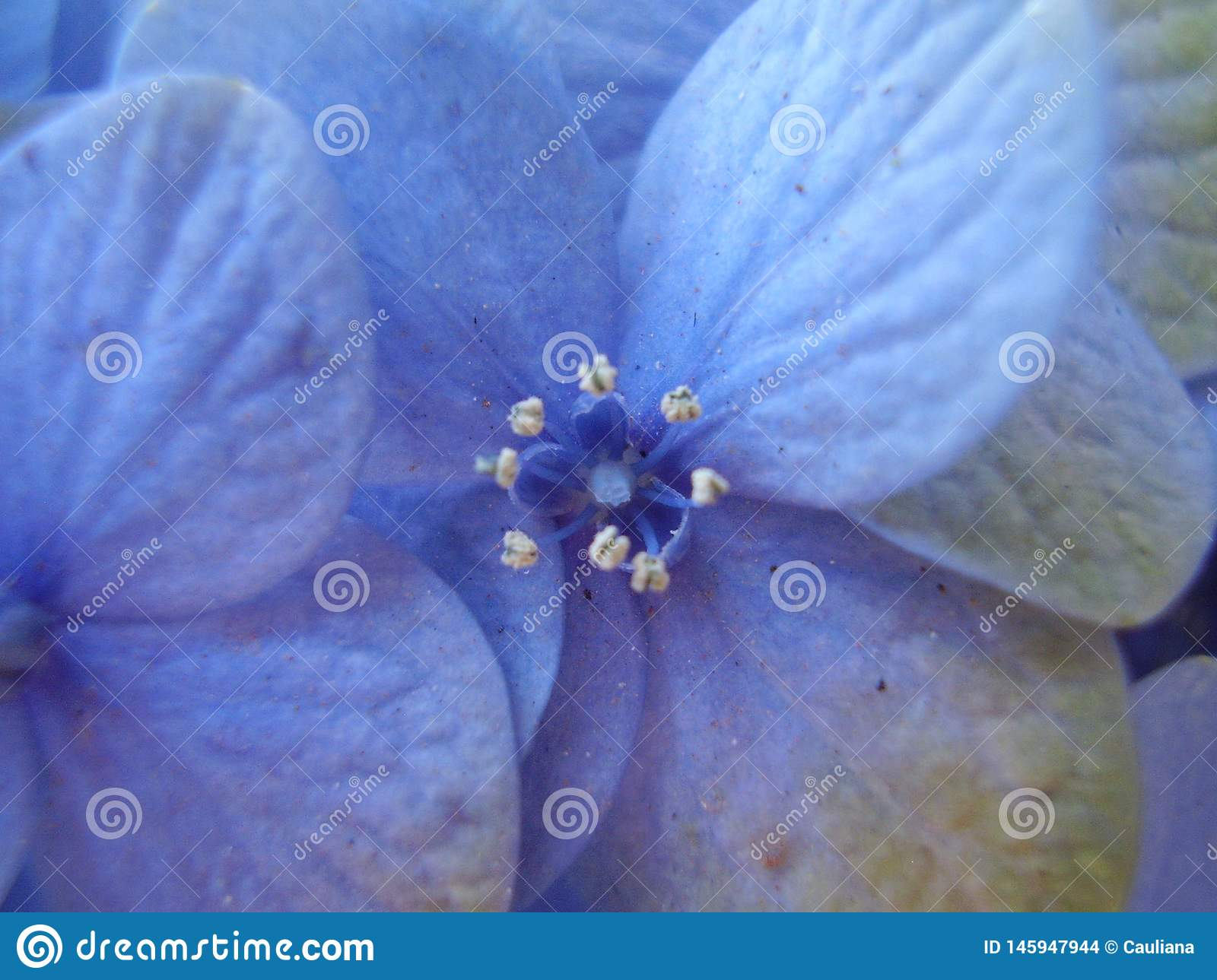 Small blue hydrangea flower close up