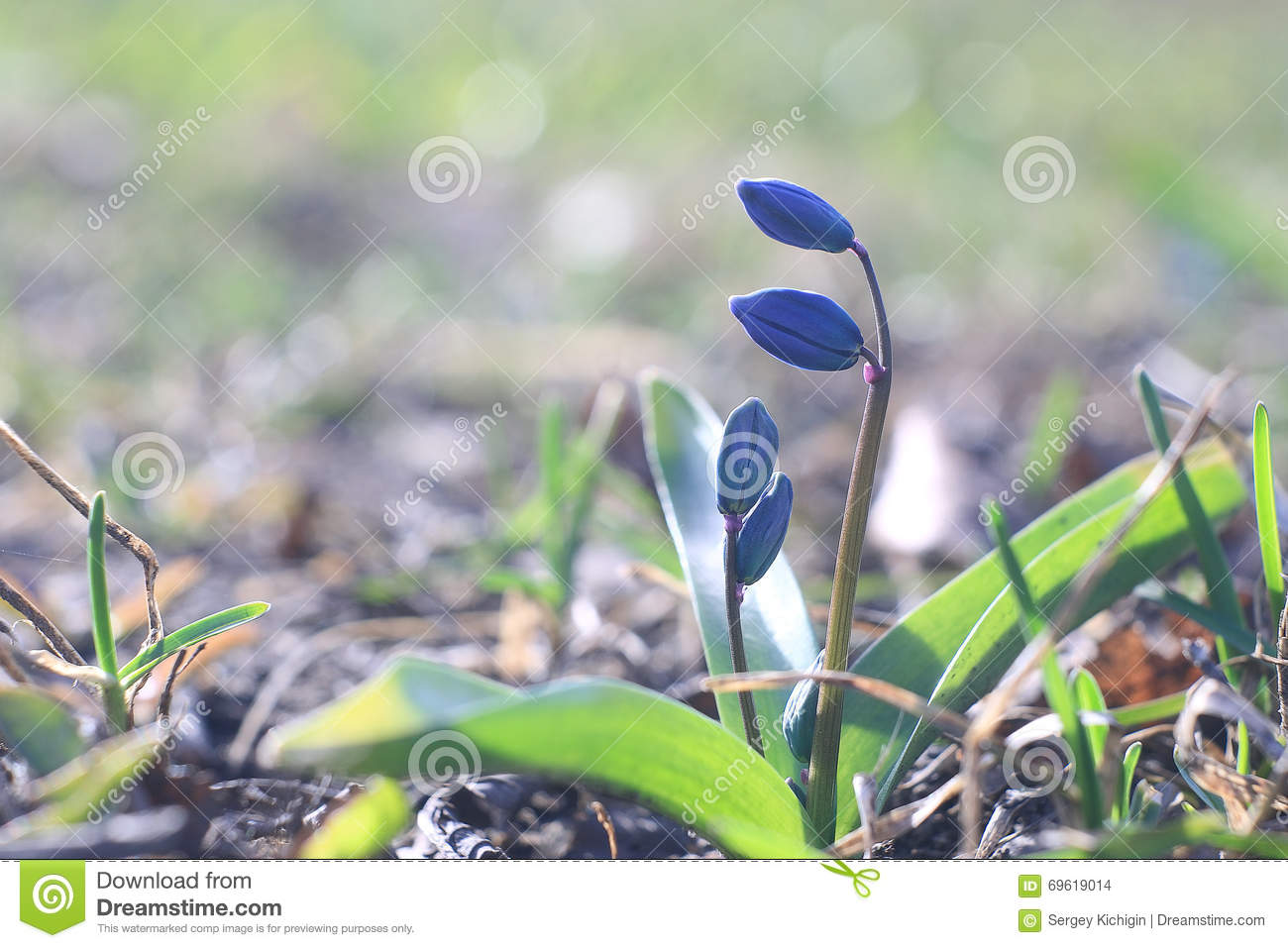 Small Blue Spring Flowers Stock Photo Image Of Blue 69619014