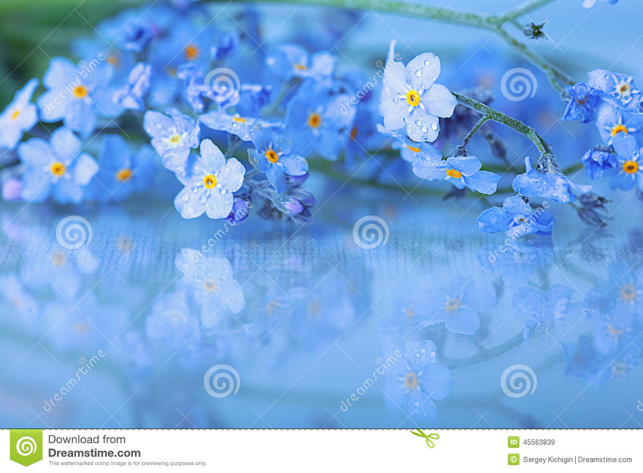 small blue spring flowers on a wooden background stock