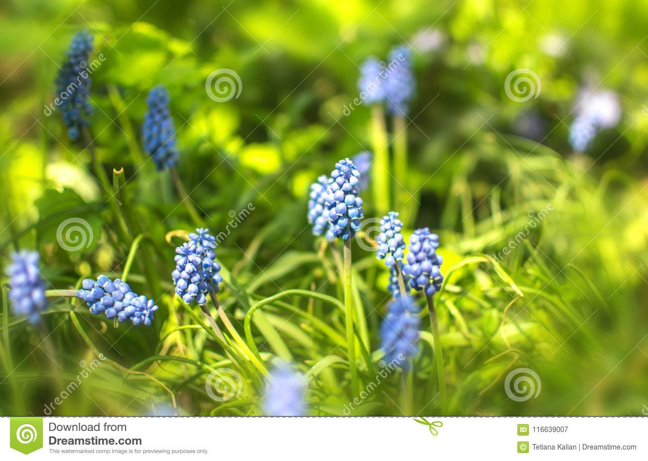 Small Blue Spring Garden Flowers Muscari Floral Background Stock