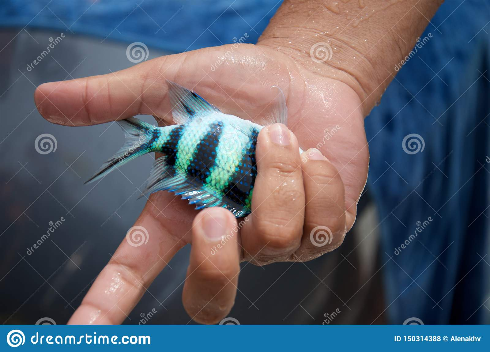Small blue striped tropical fish in man`s hand