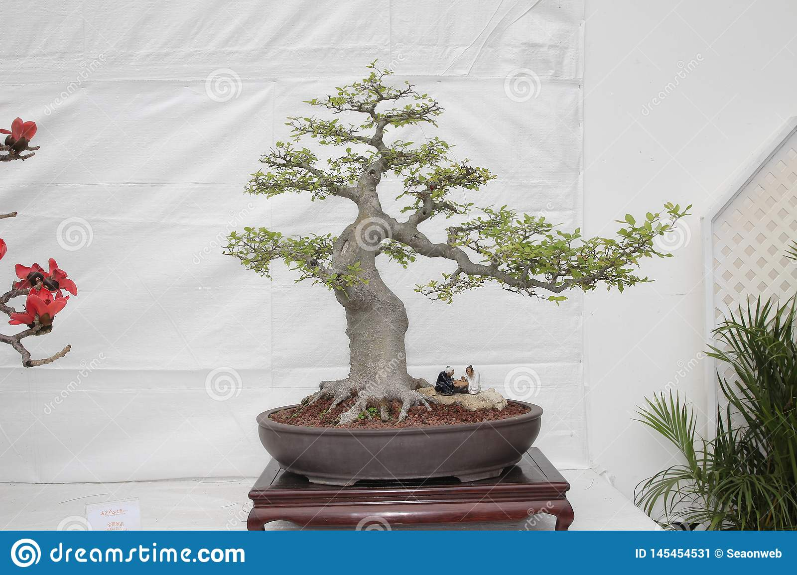 Small Bonsai Tree In A Ceramic Pot Cascade Style Stock Image Image Of Chinese Horticulture 145454531