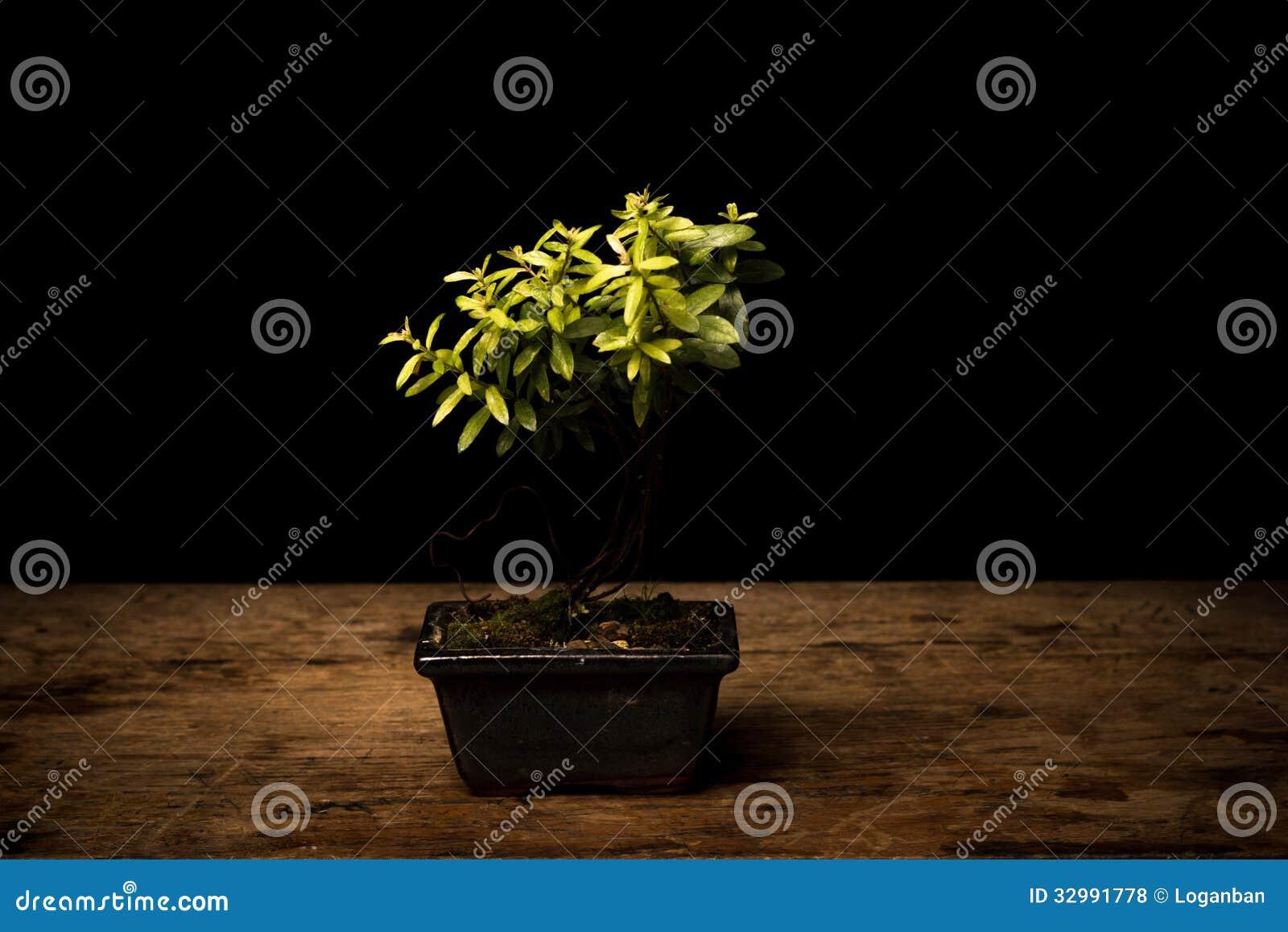 Small bonsai tree in ceramic pot