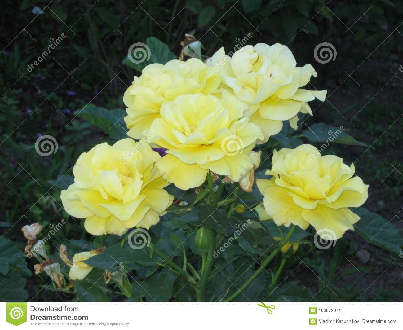 A Small Bouquet Of Light Yellow Roses Stock Image Image Of Light