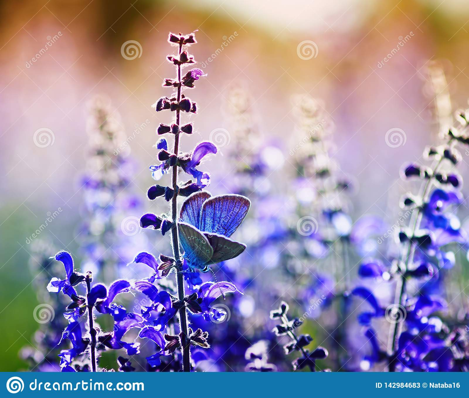 Small bright blue butterfly of a pigeon sits on purple flowers on a Sunny summer day in a rural meadow