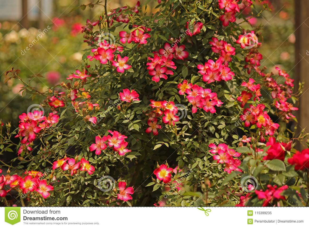 Small Bright Pink Roses On A Bush Stock Image Image Of Petals