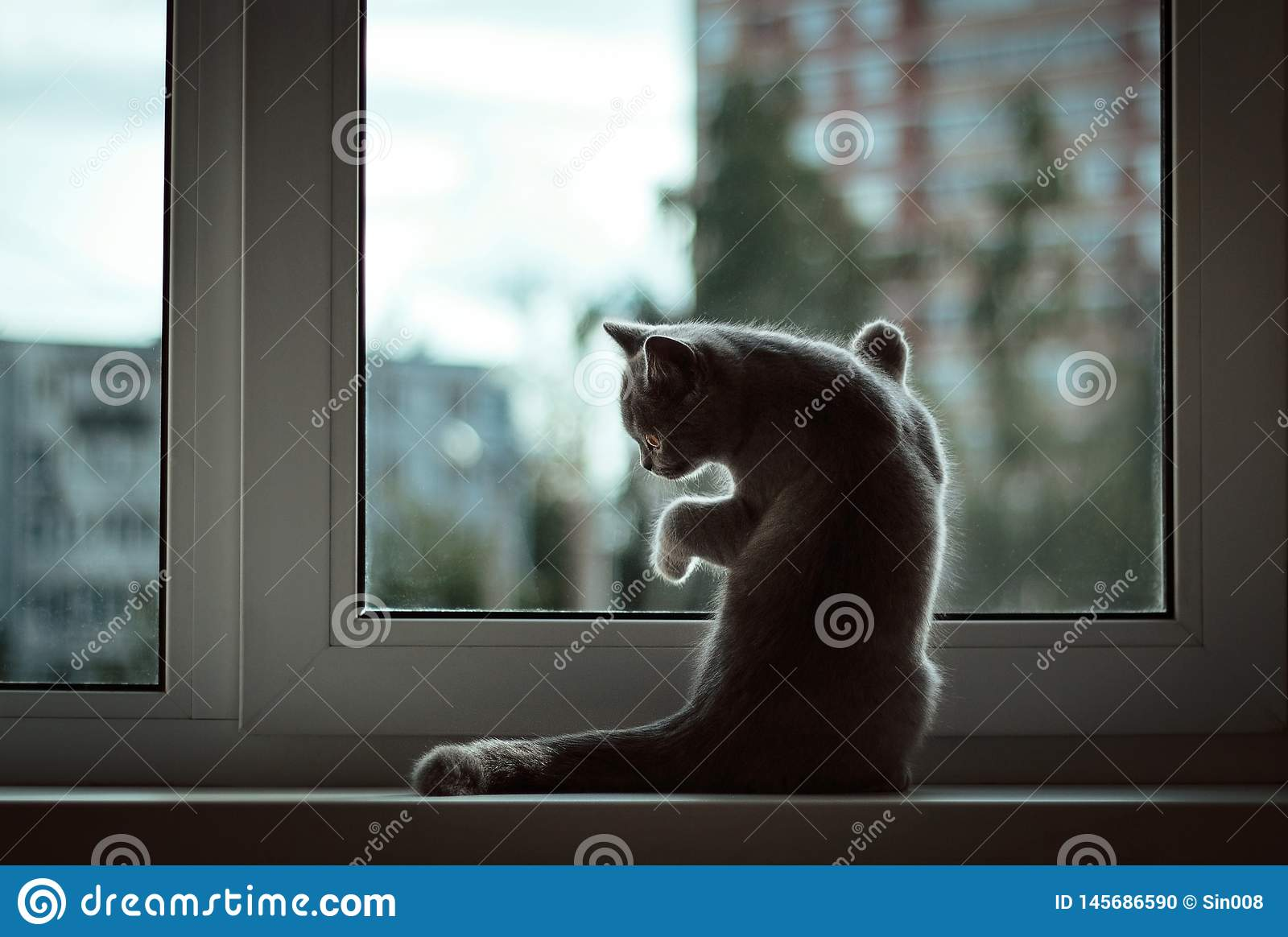 A small British kitten sitting at the window on the background of the evening city. Front legs rests against the glass