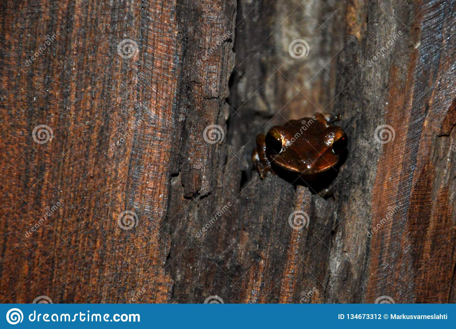 Small brown frog in a tree.