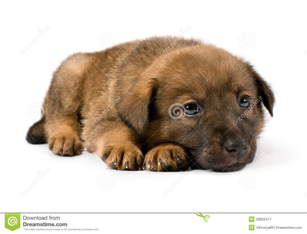 Small Brown Puppy Stock Image Image Of Baby Studio
