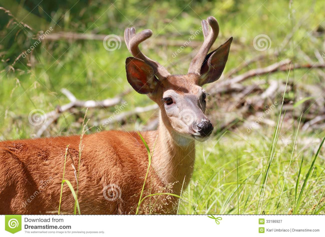 Small buck royalty free stock photography image 33186927