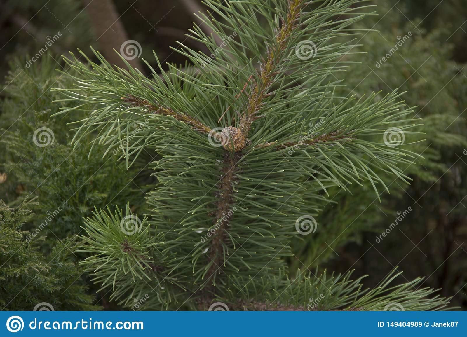 Small bump of evergreen young cedar on a branch