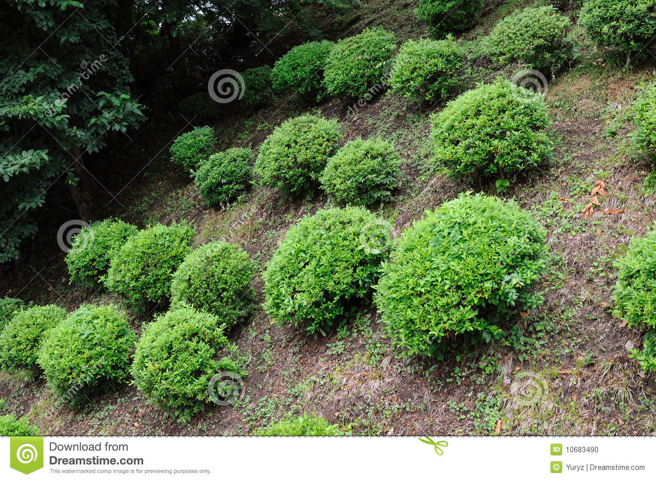 Well arranged green small bushes in on the hill slope.