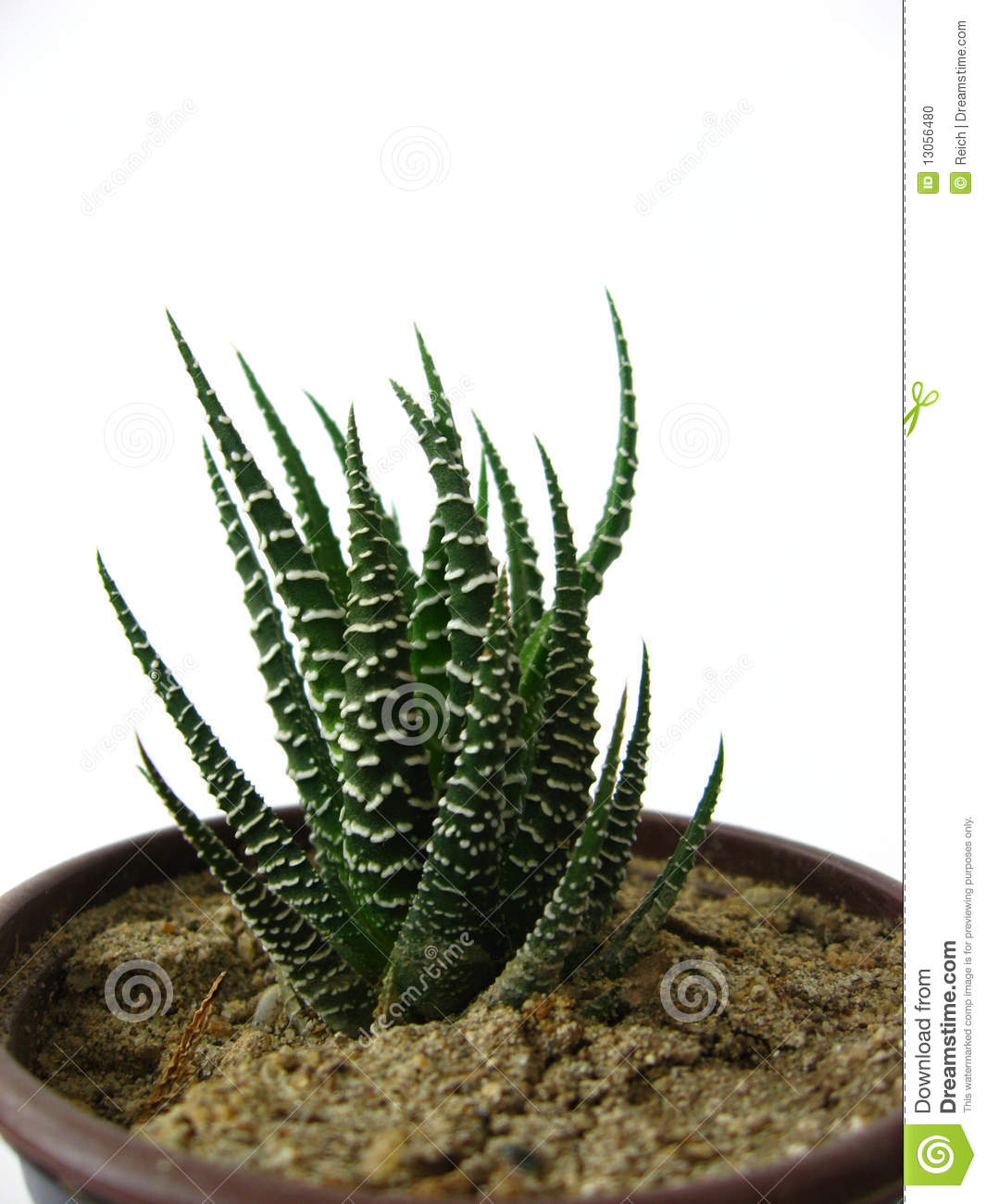 Http Dreamstime Com Stock Photo Small Cactus Image13056480