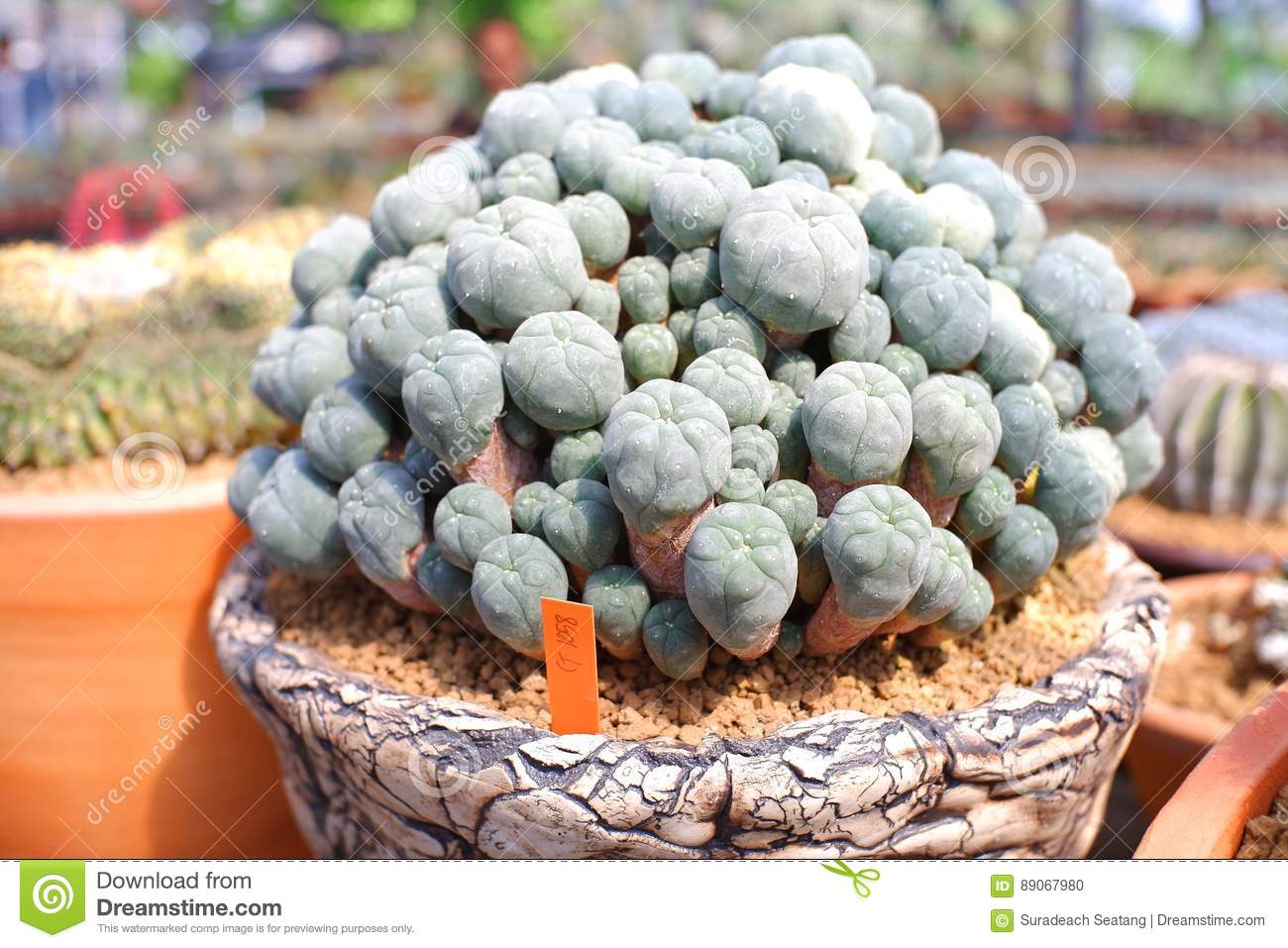 Small cactus in pot stock photo image 89067980 Cactus pots for sale