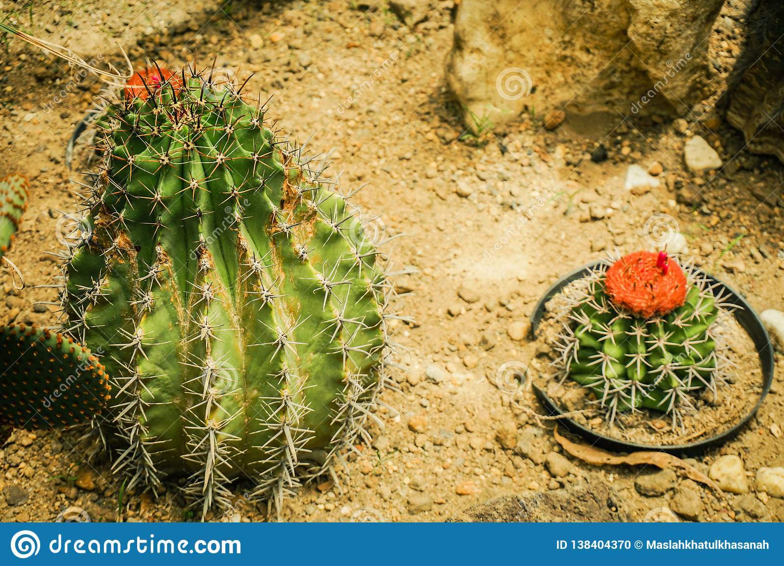 A small cactus rounded with barrel shape and spike with red flower bloom on top - photo bogor